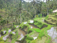 rice terrace at tegalalng village